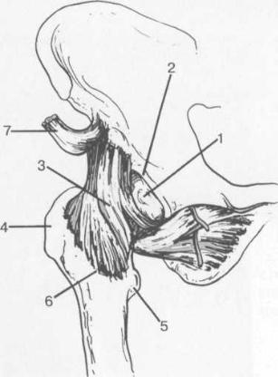 Связки тазобедренного сустава (по передней поверхности)