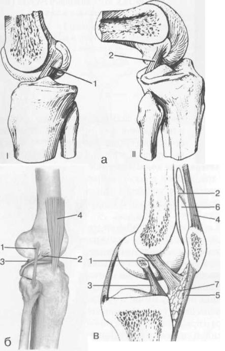 Связки и складки коленного сустава.