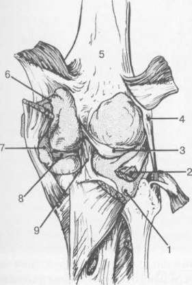 Синовиальные сумки коленного сустава по задней поверхности.