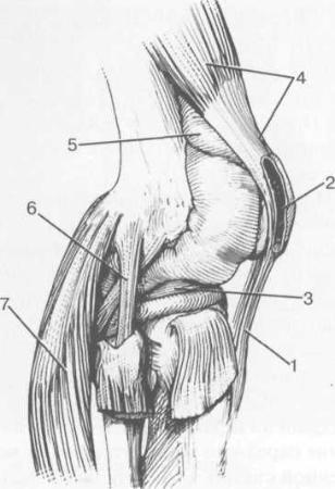Синовиальные сумки коленного сустава.