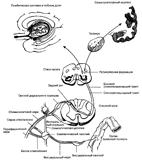 Путь нейрональной передачи висцеральной боли.