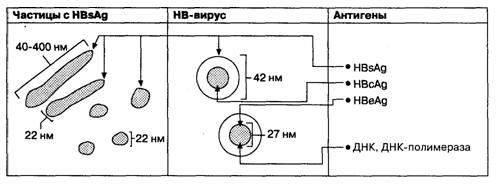 Диаграмма, отражающая соотношения трех морфологических форм HBV-частиц и антигенов HBV.