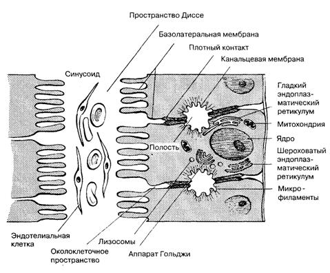 Особенности структуры желчного секреторного аппарата