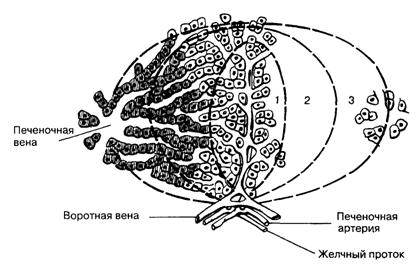 Печеночный ацинус. Его ось формируется терминальной веточкой воротной вены, печеночной артерией, желчным протоком.