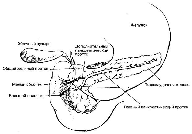 Анатомическая взаимосвязь общего желчного протока и протоков поджелудочной железы