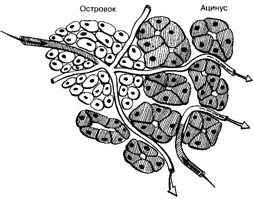Инсулоацинарная портальная система поджелудочной железы, соотношение экзокринной и эндокринной частей.