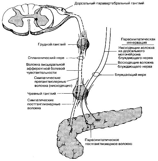 Вегетативная иннервация поджелудочной железы