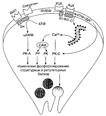 Схема стимуляции секреции белков клетками ацинуса поджелудочной железы