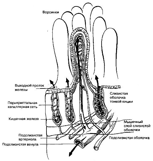 Модель системы микроциркуляции слизистой оболочки тонкой кишки.