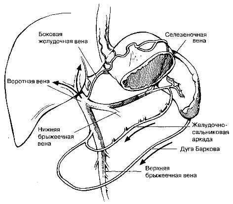 коллатеральные пути венозного оттока (после окклюзии селезеночной вены) через левую желудочную вену, желудочно-сальниковую аркаду и вену большого сальника (дуга Баркова).