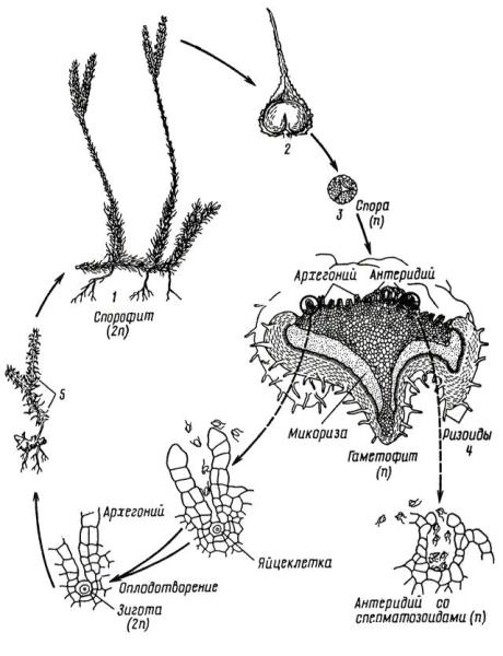 Цикл развития плауна булавовидного