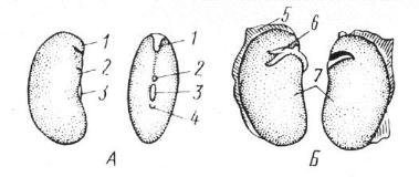 Семя фасоли (Phaseolus vulgaris).
