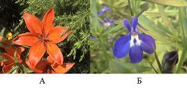 Симметрия цветка. А – актиноморфный (радиально симметричный