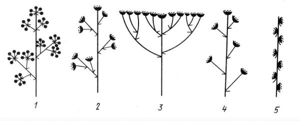Агрегатные соцветия: 1 – метелка зонтиков, 2 – метелка корзинок, 3 – щиток корзинок, 4 – кисть корзинок, 5 – колос корзинок.