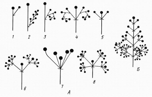 Цимоидные соцветия. А – цимоиды: 1-3– монохазии: 1 –элементарный монохазий, 2– извилина, 3 – завиток, 4 – двойной завиток, 5-6– дихазии: 5 – дихазий, 6 – тройной дихазий, 7-8 – плейохазии: 7 – плейохазий, 8 – двойной плейохазий; Б – тирс.