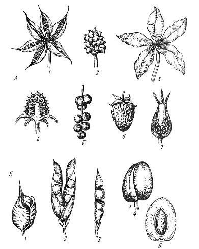 Типы апокарпных плодов. А – сухие и сочные апокарпии Б – сухие и сочные монокарпии