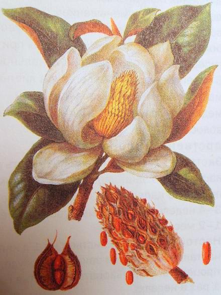 Магнолия (цветок, плод, плодик).