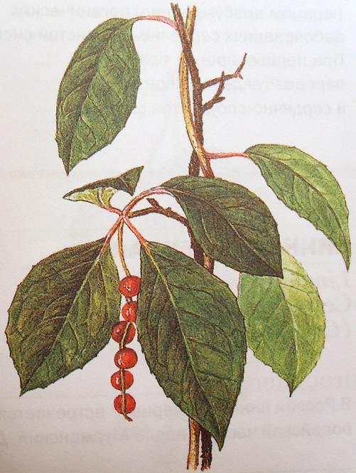 Побег лимонника китайского с листьями и плодами.