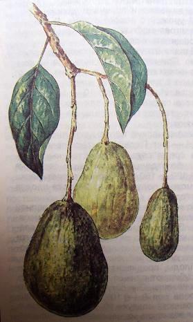 Плод авокадо.