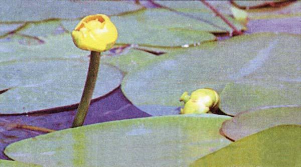 Кубышка желтая (фото).