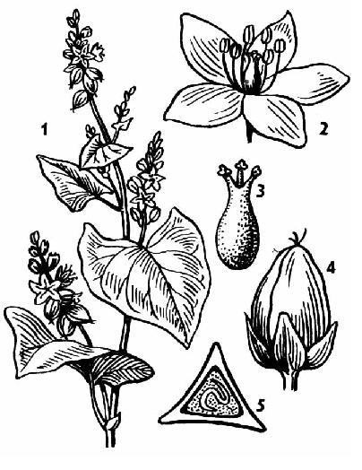 Гречиха посевная: 1- внешний вид растения, 2 – цветок, 3 – гинецей, 4 - плод (внешний вид), 5 – плод в разрезе.