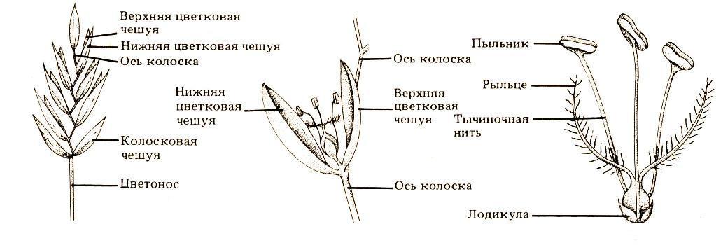 Строение цветка мятликовых.