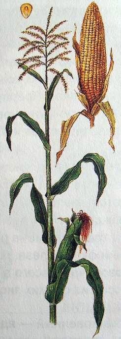 Кукуруза обыкновенная.