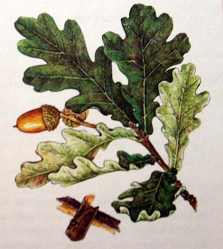 Дуб черешчатый (побег с листьями, соцветия, плоды).