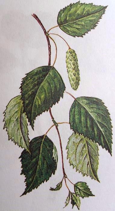 Береза повислая (побег с листьями и соцветиями, цветок).