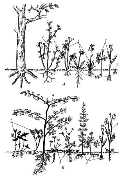 Жизненные формы по К. Раункиеру (схема): А – положение почек возобновления; Б – сохраняющиеся многолетние части побеговой системы (выделены черным); 1 – гемикриптофиты; 2 – криптофиты; 3 – терофиты; 4 - фанерофиты; 5 – хамефиты.