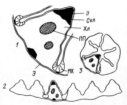 Поперечный срез листа щучки (Deschampsia caespitosa): 1 – часть пластинки листа при большом увеличении; 2 – срез всей пластинки листа; 3 – пластинка листа в свернутом состоянии; МК – моторные клетки; ПП - проводящий пучок; Скл – слеренхима; Хл – хлоренхима; Э – эпидерма.