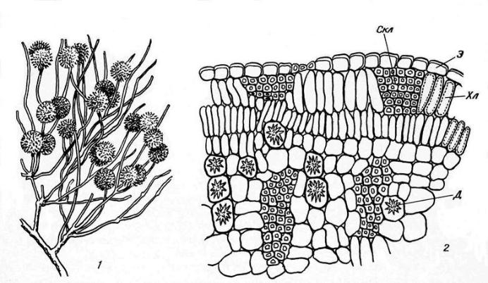 Ветка джузгуна (Calligonum) (1) и часть ее поперечного среза (2): Д – друза; Скл – склеренхима; Хл – хлоренхима; Э – эпидерма.