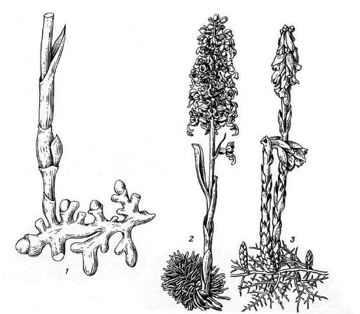 Рис. 15.9. Растения – микотрофы: 1 - корни ладьяна трехнадрезного (Corallorhiza trifida); 2 - гнездовка настоящая (Neottia nidus-avis); 3 - подъельник обыкновенный (Hypopitys monotropa).