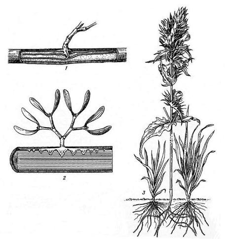 Растения-полупаразиты: 1 – омела (Viscum album), нижняя часть растения; видны видоизмененные корни под корой растения-хозяина; 2 – продольный разрез ветви растения-хозяина; видны присоски на корнях омелы; 3 – марьянник полевой (Melampyrum arvense), паразитирующий на луговых злаках.