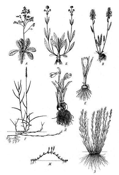 Многолетние травы: А – каудексный кермек Гмелина (Limonium gmelinii); Б - короткокорневищный кистекорневой сивец (Succisa pratensis); В – короткокорневищный змеевик живородящий (Bistorta vivipara); Г – длиннокорневищный пырей ползучий (Elytrigia repens); Д – луковичный подснежник (Galanthus woronowii); Е – клубнелуковичный шафран (Crocus albiflorus); Ж – наземно-ползучая вероника лекарственная (Veronica officinalis); З – дерновинная грудница (Linosyris villosa).