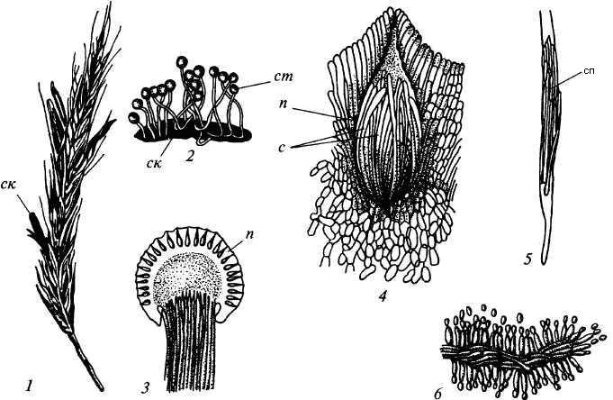 Спорынья пурпурная (Claviceps purpurea)