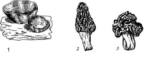 Апотеции пецицевых: 1 – пецица, 2 - сморчок, 3 – строчок.
