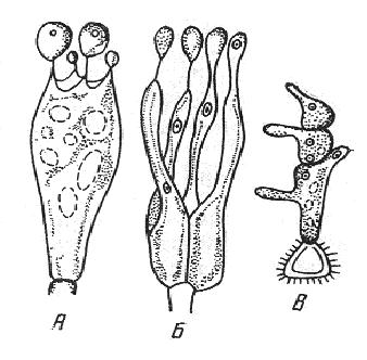 Типы базидий: А – холобазидия; Б – гетеробазидия; В – фрагмобазидия.