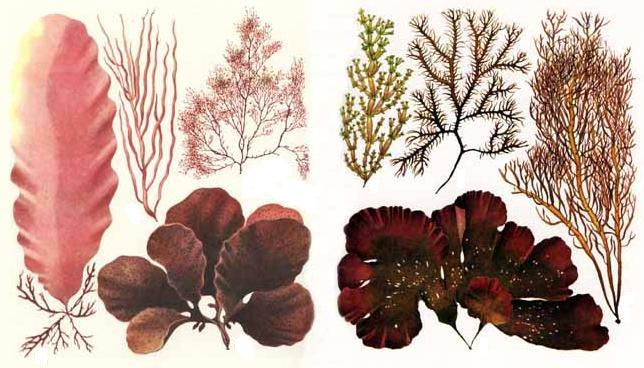 Красные водоросли .