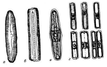 Пиннулярия (Pinnularia)