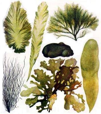 Зеленые водоросли.