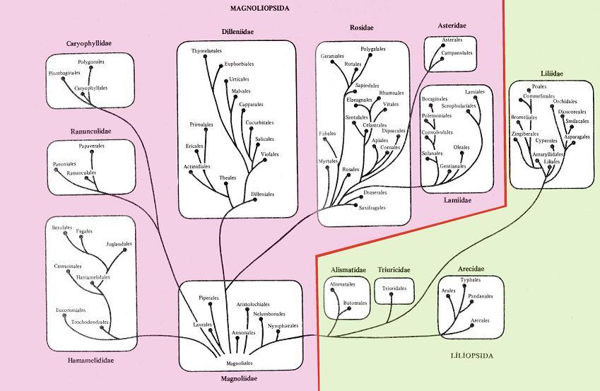 Система покрытосеменных растений (по А.Л.Тахтаджяну).