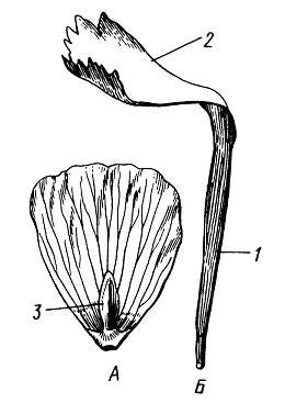 Лепестки. А – сидячий (лютик едкий Ranunculus acris); Б – ноготковый (гвоздика Dianthus versicolor)