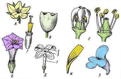 Формы сростнолепестных венчиков. А – колесовидный (вербейник Lysimachia vulgaris); Б – воронковидный (табак Nicotiana tabacum); В – колокольчатый (некоторые однодольные); Г – трубчатый (подсолнечник Helianthus annuus); Д – трубчатый с блюдцевидным отгибом