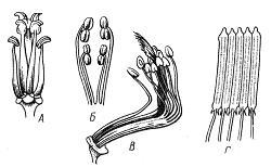 Типы андроцея. А – четырехсильный (капустные, или крестоцветные Brassicaceae); Б – двусильный (яснотковые, или губоцветные Lamiaceae); В – двубратственный (бобовые Fabaceae); Г – со склеенными в трубку пыльниками (астровые, или сложноцветные Asteraceae)