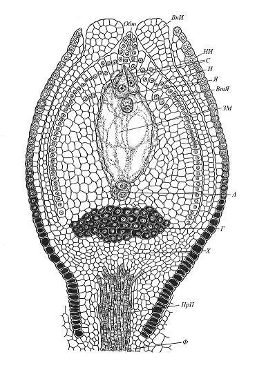 Строение ортотропного семязачатка