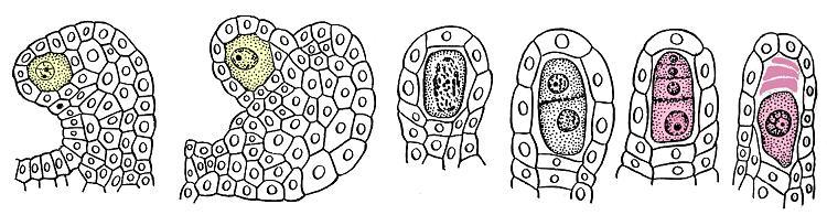 Стадии развития мегаспор в семязачатке лобелии (Lobelia cardinalis)
