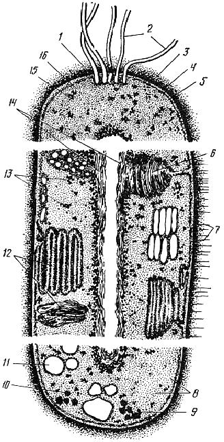 Комбинированный схематический разрез бактериальной клетки