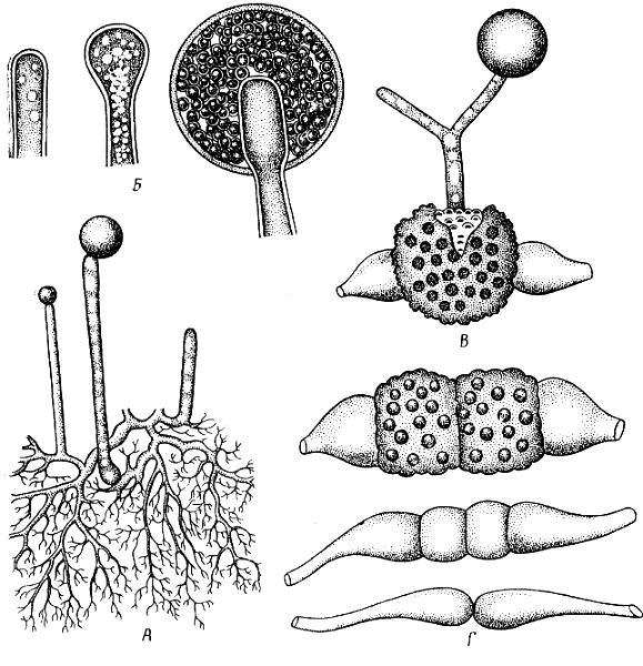 Мукор (Mucor mucedo): А – мицелий со спорангиями; Б – образование спорангия; В – прорастание зиготы; Г – гаметангиогамия.