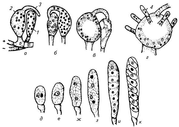 Половой процесс у сумчатого гриба пиронемы: а – антеридий (1) и архикарп (2) с трихогиной (3); б – переход содержимого антеридия в архикарп